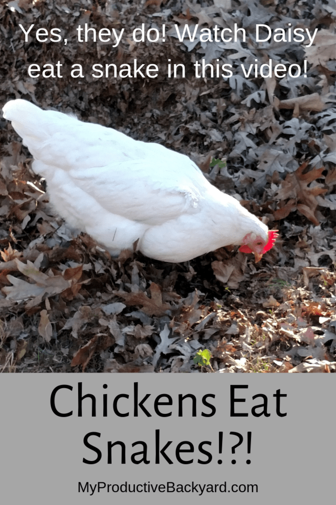 Chickens Eat Snakes!?