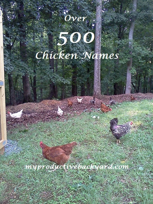 """Over 500 Chicken Names! """"What could I name my chicken ..."""